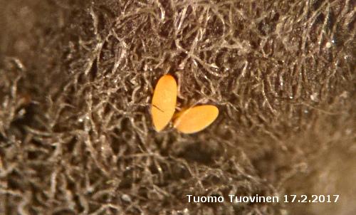 Cacopsylla mali_eggs_17022017_TTuovinen
