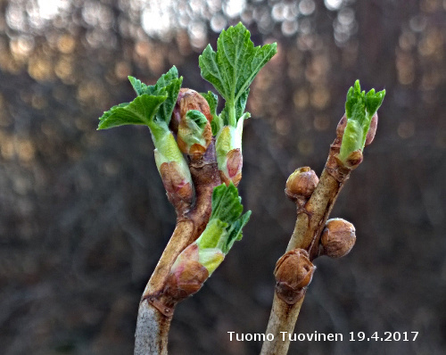 Cecidophyopsis ribis_WP_20170419-014_pieni_TTuovinen